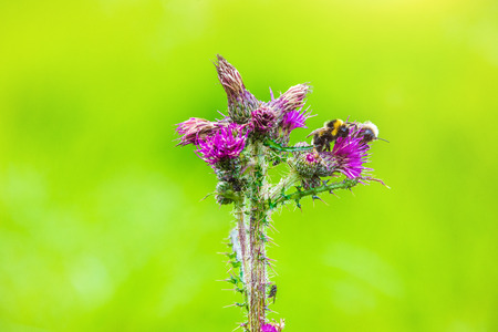Bumblebee sits on blossom of the thistle in the nature park High Fens