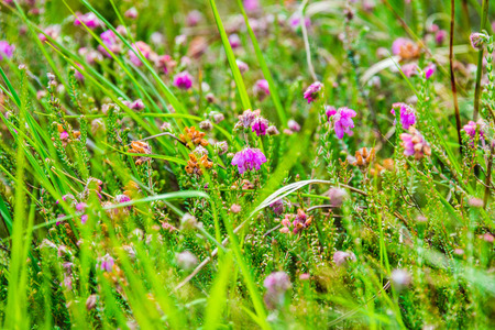 ericaceae: Detail of a bell-heather or moor-bell heather in the High Fens nature reserve
