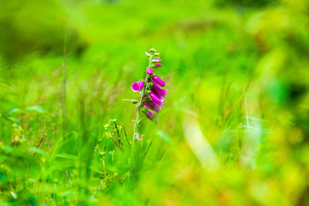Red Foxglove is standing in the moor on the Moorwiese in the High Fens nature reserve