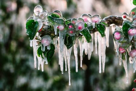Eine Schicht schützendes Eis bedeckt Apfel- und Obstbäume, um sie vor Frostschäden und Eiszapfenbildung zu schützen