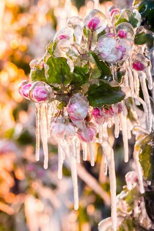 사과와 과일 나무를 덮는 보호용 얼음 층으로 동결 손상을 방지하고 고드름 형성