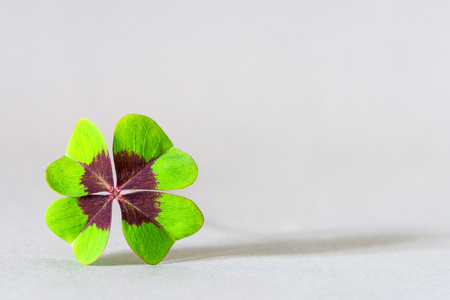 Closeup of a four leaf clover symbolizing luck and success as template