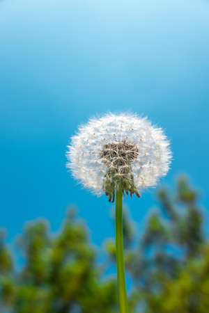 Closeup of a dandelion seed head or blowball in front of green tree and blue sky as template
