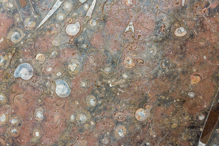 Red marine polishied stone with mineralized fossils as ammonites and belemnites as closeup