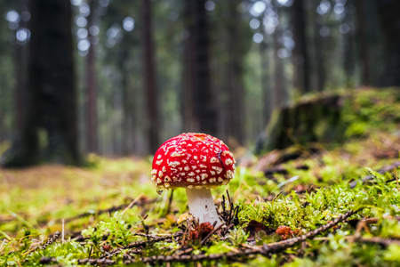 Wet single red forest fly agaric toxic mushroom in moss and grass surrounded by trees in autumn during rain