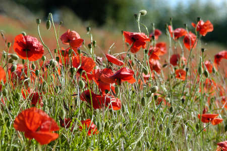 unruly: Field of wild poppies Stock Photo