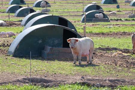 sty: Free range pig outside pig sty
