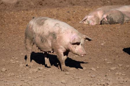 free range: Free range pig covered in mud