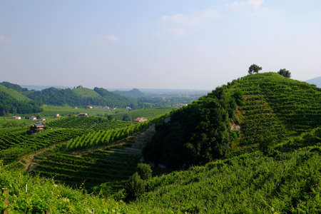 Vines for prosecco wine Valdobbiadene
