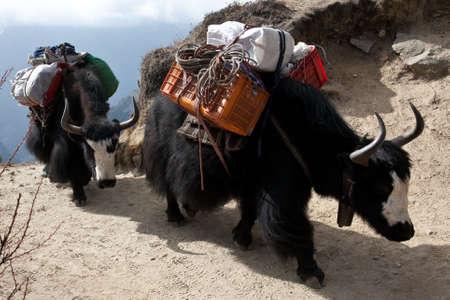 loads: Yaks carrying heavy loads in Himalayas