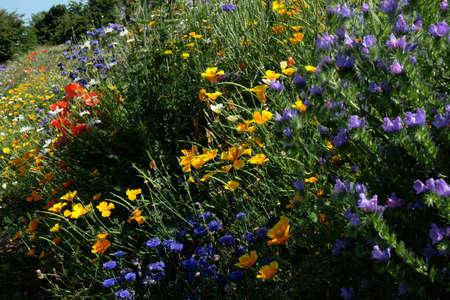 garden cornflowers: Wildflower border with echium and poppies Stock Photo