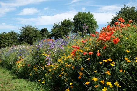 echium: Wildflower border with echium and poppies Stock Photo