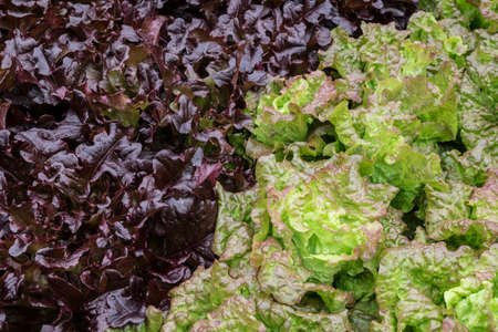 growing together: Red and green lettuce growing together Stock Photo