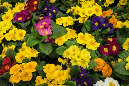 bedding: Bright colored primula hybrid bedding