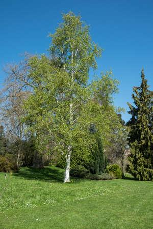 betula pendula: betula pendula, silver birch