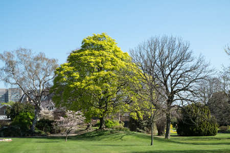 cusp: Deciduous tree with fresh spring leaves
