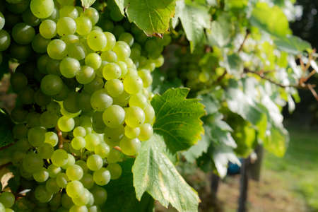 oenology: Juicy green grapes on vine, ready for harvest