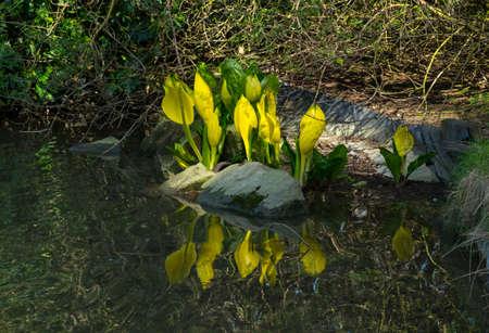 edge: Lysichiton americanus by pond edge