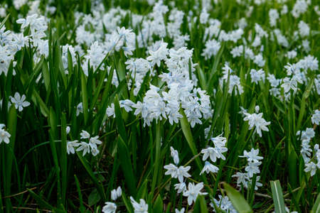 Squill growing in large clump Stock Photo