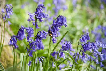 Bluebells wild hyacinth Stock Photo