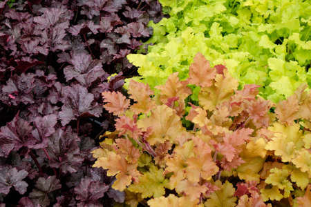 Contrasting foliage of different heuchera varieties, darlk splashed purple, vivid lime and orange coral shades