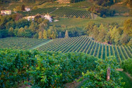 Prosecco vinyards near Conegliano, Italy