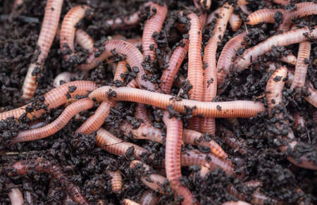 vermiculture: Dendroboena worms in worm compost