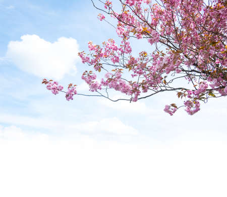Cherry blossom in spring against blue sky with fluffy clouds Stock Photo