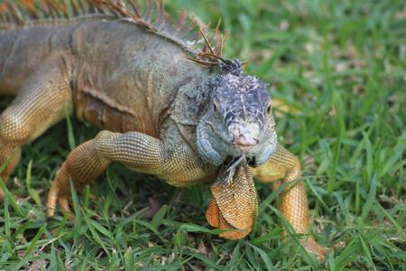 Iguana posing Фото со стока