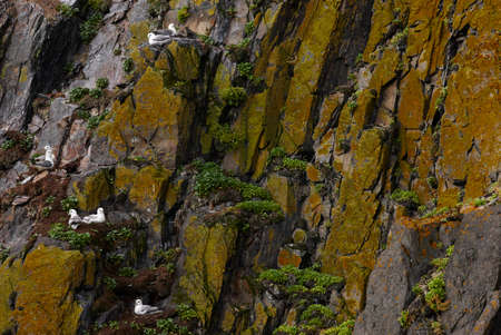 Artic seagulls nests on Vatnsnes Peninsula rocks Iceland photo