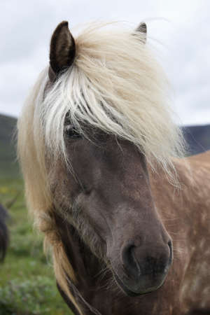 Icelandic horse with white hair  Vertical  photo
