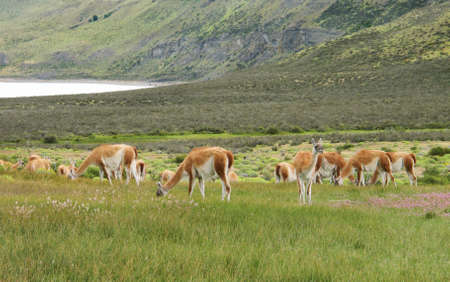 patagonian: Patagonian landscape with meadows and guanacos  Horizontal