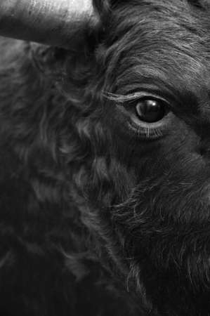 Fighting bull head detail in black and white. Vertical Stock Photo
