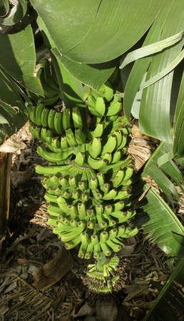 Banana tree in Spain. Canary Islands. La Palma. Vertical photo