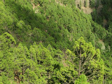 wild canary: Pine tree forest in Spain. Canary Islands. La Palma. Horizontal