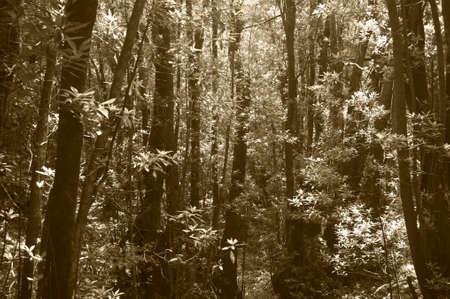 subtropical: Subtropical laurisilva forest in Gomera. Canary Island. Spain. Sepia tone