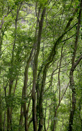 non la: Green forest in La Palma. Canary Islands. Spain. Vertical Stock Photo