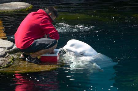 Beluga whale feeding in the aquarium. Vancouver. Canada