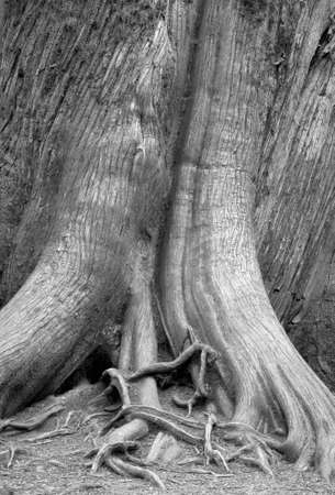 Tree trunk detail in the forest. Vancouver. Canada. Black and white Stock Photo - 34783482