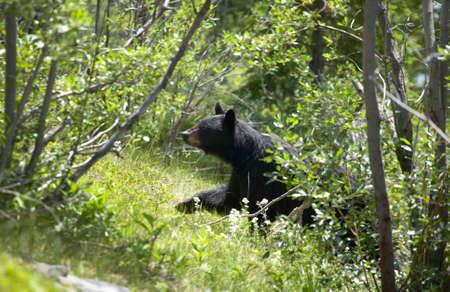 oso negro: Paisaje canadiense con el oso negro en Alberta. Canadá. Horizontal