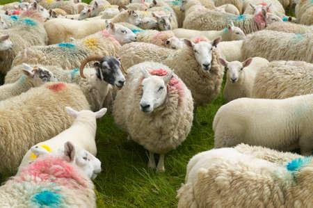 pecora: Pecore scozzesi contrassegnati con i colori. Skye Isola. Scozia. Regno Unito. Orizzontale