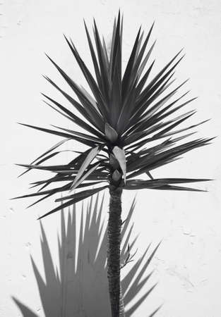 yucca: Yucca plant over a white wall with shadow. Spain. Vertical