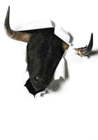 fighting bulls: Black fighting bull head breaking a blank paper. Vertical format Stock Photo