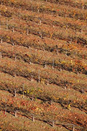 navarra: Grapevine field in autumn time. Olite, Navarra. Spain. Vertical