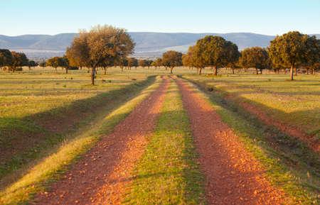 mediterranean forest: Oak holms, ilex in a mediterranean forest. Cabaneros park, Spain. Horizontal