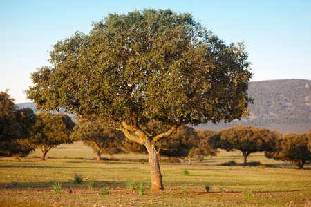 mediterranean forest: Oak holm, ilex in a mediterranean forest. Cabaneros park, Spain. Horizontal