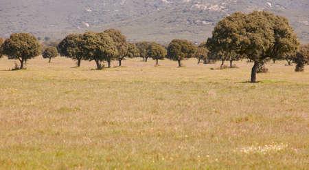 mediteranean: Oaks holms in a mediteranean meadow. Cabaneros, Spain. Horizontal