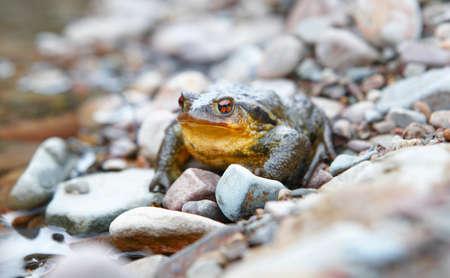 bufo bufo: Toad ready to jump in a rock near a stream. Horizontal Stock Photo