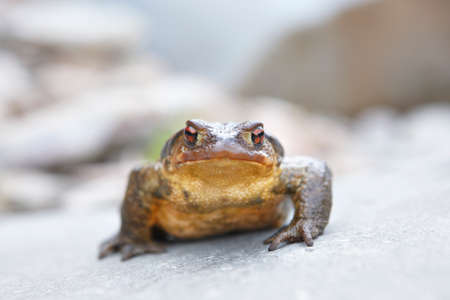 bufo bufo: Toad ready to jump in a rock. Front view. Horizontal