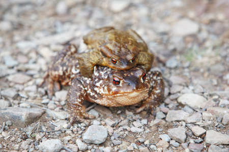 breeding ground: Female and male toads breeding on the ground Spain. Horizontal